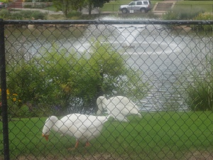Swans at Swan Lake Park